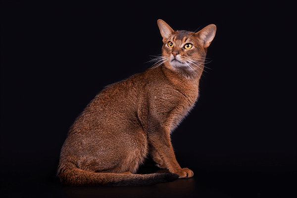 Abyssinian cat - breed specification