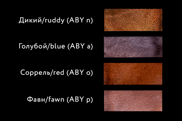 Colors of Abyssinian cats