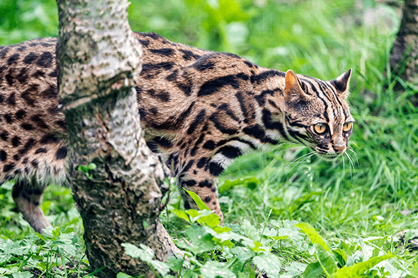 The history of the creation of the Bengal breed