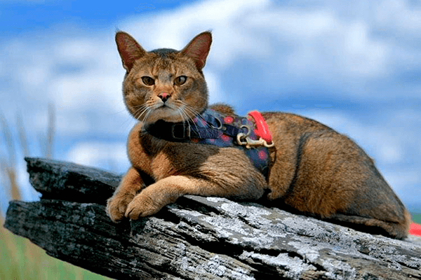 Chausie in a collar