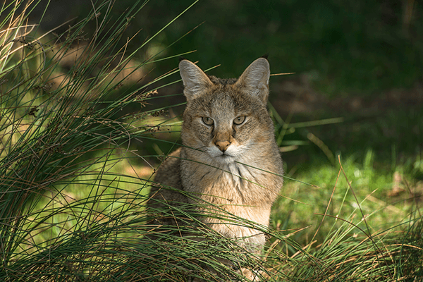 Chausie breed