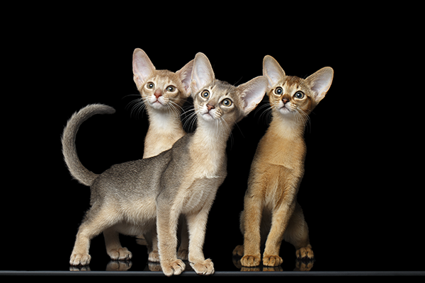 What color to buy an Abyssinian kitten